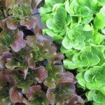 Spring Head Lettuce