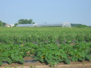 Indiana Melon Field
