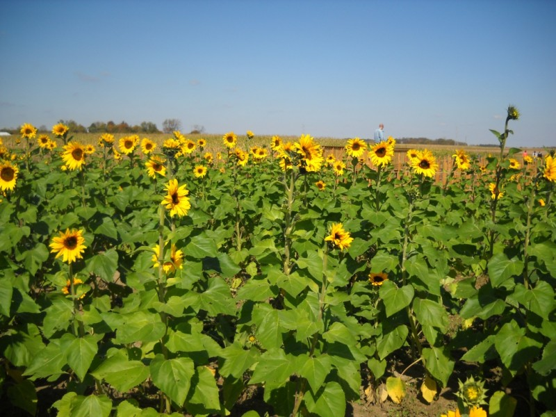 Upick Sunflower