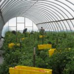Indiana High Tunnel Tomatoes