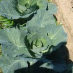 Indiana Grown Cabbage