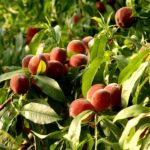 Southern peaches in Indiana