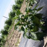 Indiana Bell Pepper Plants