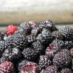 indiana black raspberries