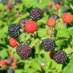 indiana black raspberries