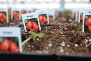 planting greenhouse tomatoes