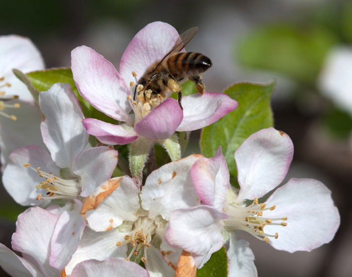 Home Apple Tree Care Spray Guide For Beginners Tuttle Orchards